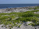 Sea Sandwort (Honckenya peploides)